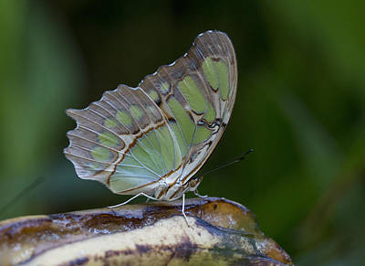 Photograph - Malachite Butterfly by Pietro Ebner