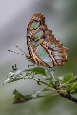 Malachite Butterfly Profile Art Print