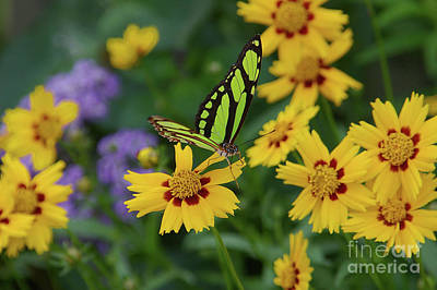Photograph - Malachite Butterfly by Rick Bures
