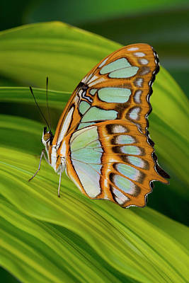 Malachite Butterfly (siproeta Stelenes) On Rhapis Palm Leaves (rhapis Excelsa) Art Print by Darrell Gulin