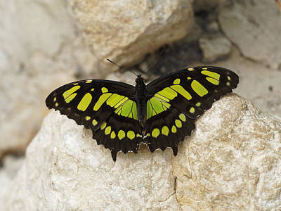 Photograph - Malachite Butterfly - Siproeta Stelenes by Paul Gulliver