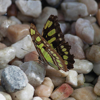 Photograph - Malachite Butterfly by Suzanne Gaff