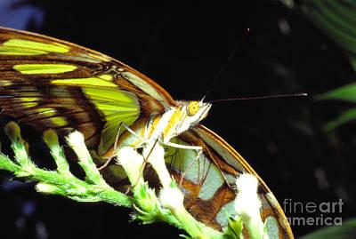 Malachite Butterfly Art Print by Thomas R Fletcher