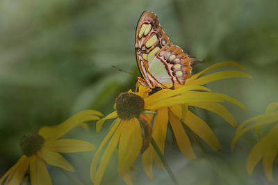 Photograph - Malachite Butterfly Through The Leaves by Patti Deters