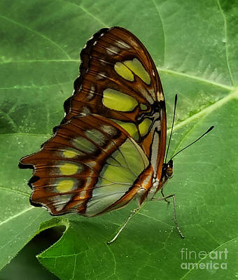 Photograph - Malachite by Diane E Berry