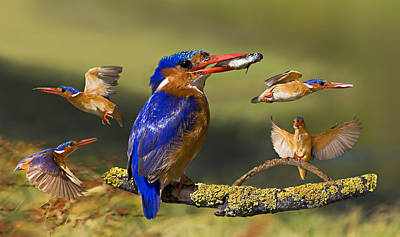 Malachite Kingfisher Collage Original by Basie Van Zyl