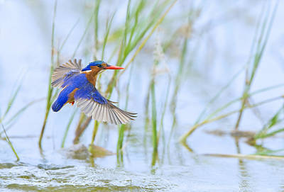 Malachite Kingfisher Dive Original by Basie Van Zyl