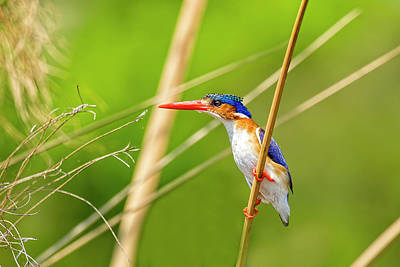 Photograph - Malachite Kingfisher On The Hunt by Kay Brewer