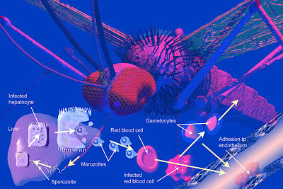 Digital Art - Malaria Cycle by Carol and Mike Werner