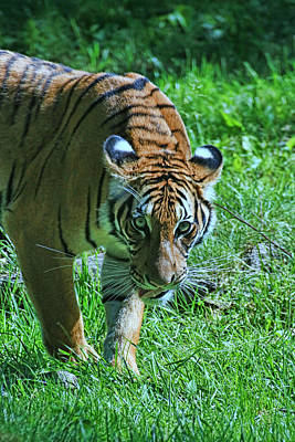 Photograph - Malayan Tiger # 2 by Allen Beatty