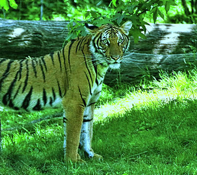 Photograph - Malayan Tiger by Allen Beatty
