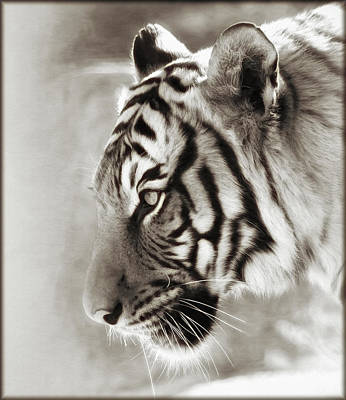 Photograph - Malayan Tiger by Elaine Malott