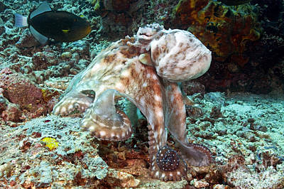 Blend Photograph - Malaysia, Octopus by Dave Fleetham - Printscapes