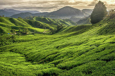 Photograph - Malaysia - Tea Plantation In Cameron Highlands by Martin Capek