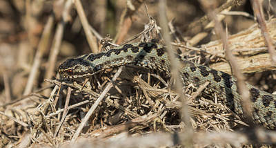 Photograph - Male Adder by Wendy Cooper