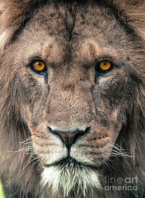 Photograph - Male African Lion by Andrew Michael