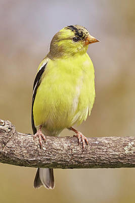 Male American Goldfinch In Early Spring Art Print by Jim Hughes