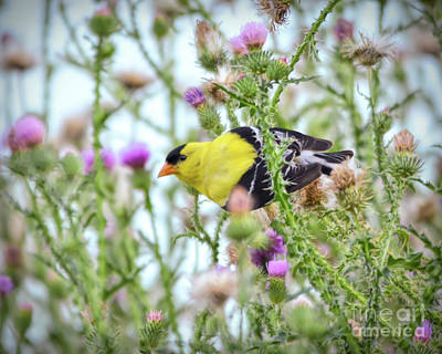Photograph - Male American Goldfinch - In The Thistle by Kerri Farley