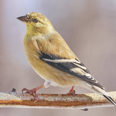 Male American Goldfinch In Winter Print by Jim Hughes