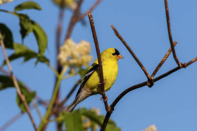 Photograph - Male American Goldfinch by Robert Potts