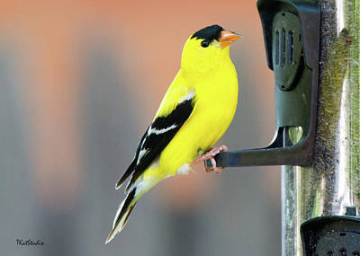 Male American Goldfinch Art Print