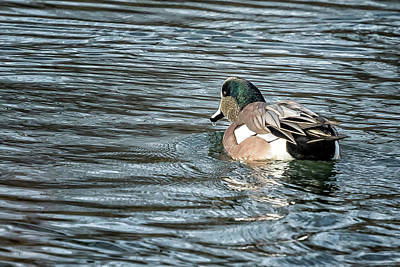 Photograph - Male American Wigeon by Belinda Greb