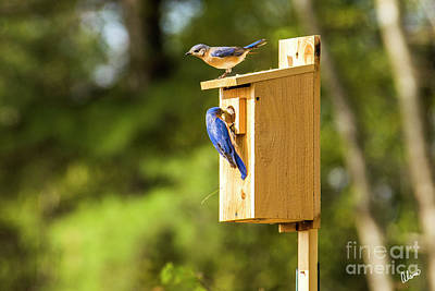 Photograph - Male And Female Bluebirds by Alana Ranney