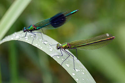 Male And Female Damsel Fly Art Print by Pierre Leclerc Photography