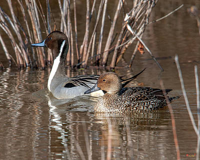 Photograph - Male And Female Northern Pintails Dwf0155 by Gerry Gantt