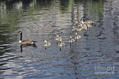 Photograph - Male And Female Geese With Their Ducklings by John Telfer