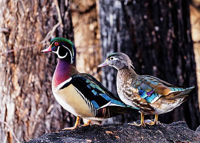 Photograph - Male And Female Wood Ducks by Vishwanath Bhat