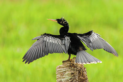 Photograph - Male Anhinga Against Verdant Green Wetlands by Dawn Currie