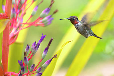 Male Anna's Hummingbird Art Print by Mike Herdering