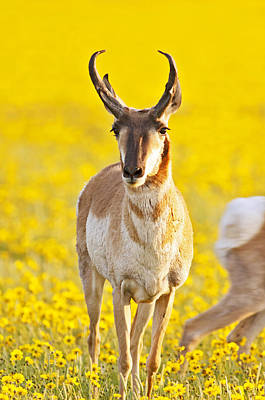 Pronghorn Photograph - Male Antelope In Spring Wildflowers by Gary Langley