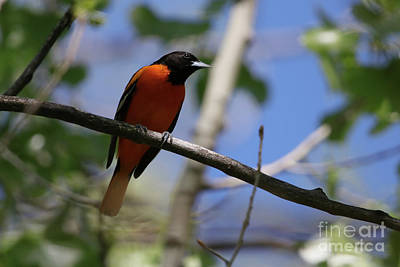 Photograph - Male Baltimore Oriole by Alyce Taylor
