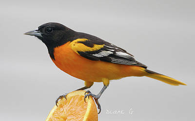Photograph - Male Baltimore Oriole by Diane Giurco