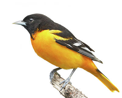 Oriole Wall Art - Photograph - Male Baltimore Oriole by Jim Hughes