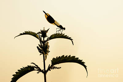 Photograph - Male Banded Demoiselle At Sunset by Paul Farnfield