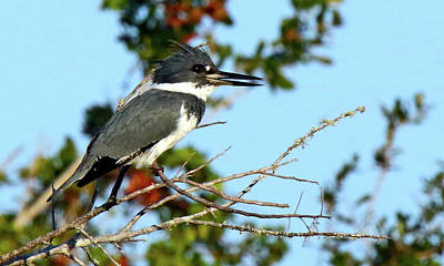 Photograph - Male Belted Kingfisher by Mercedes Martishius