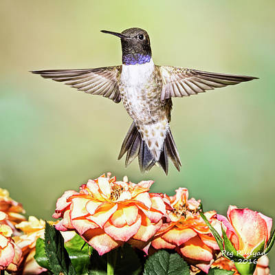 Photograph - Male Black-chinned Hummingbird by Peg Runyan