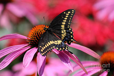 Horsemint Photograph - Male Black Swallowtail Butterfly On Echinacea Plant by Karen Adams