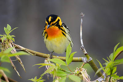 Male Blackburnian Warbler Art Print by Gary Hall