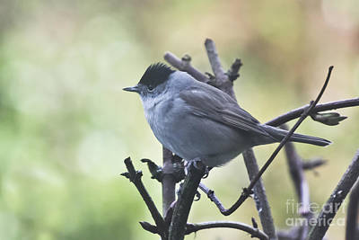Photograph - Male Blackcap by Terri Waters