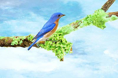 Of Lichen Photograph - Male Blue Bird On Branch by Laura D Young