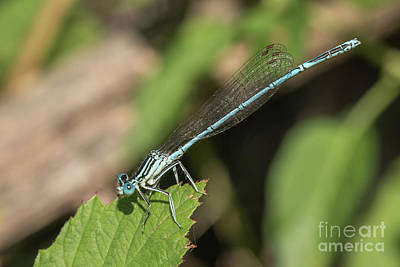 Photograph - Male Blue Featherleg - Platycnemis Pennipes by Jivko Nakev