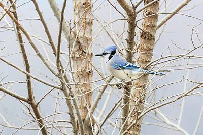 Photograph - Male Blue Jay Out On A Limb by Joni Eskridge