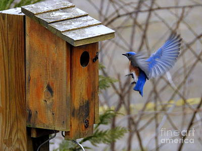Photograph - Male Bluebird In Flight by Brenda Bostic