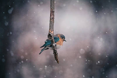 Photograph - Male Bluebird In Snow by Jessica Nelson
