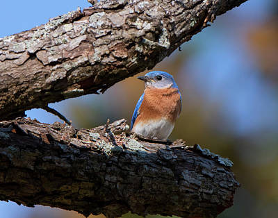 Photograph - Male Bluebird by Mike Fitzgerald