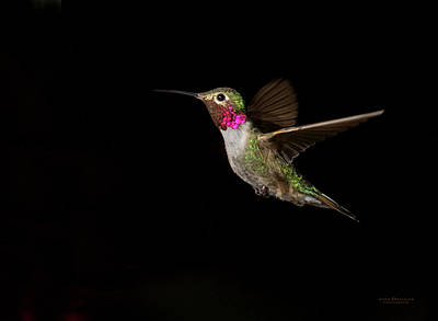 Hummingbirds Photograph - Male Broad-tailed Hummingbird by Judi Dressler